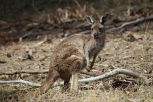 kangaroo-3710615_1920